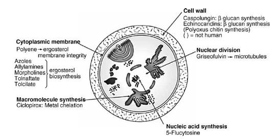 Antifungal drugs - targets of antifungal activity