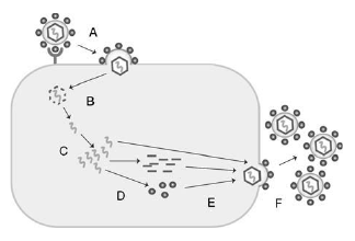 Basic steps of viral replication