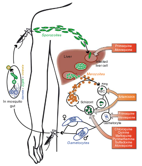 Life cycle of malarial parasites and site of action of different antimalarial drugs