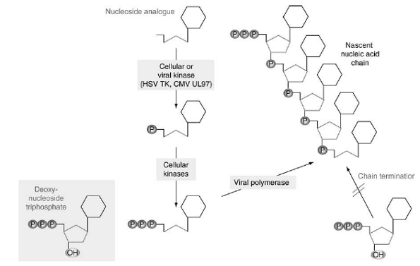 Mechanism of action of chain-terminating nucleoside analogues