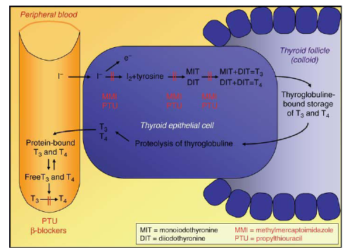 Synthesis and secretion of thyroid hormones and mechanisms of action of antithyroid drugs
