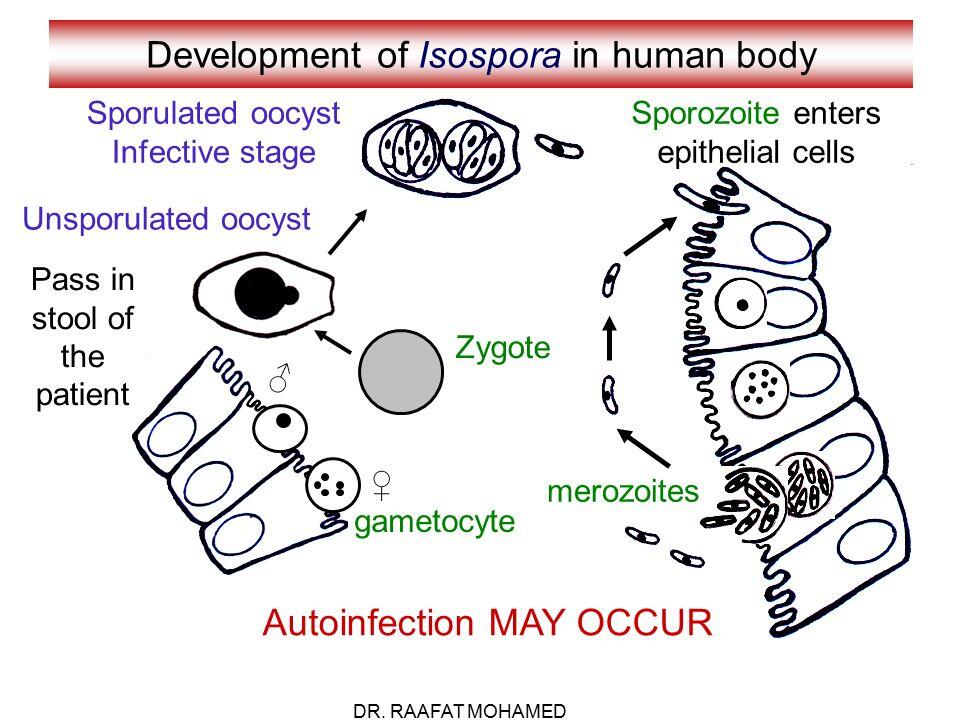 Development of isospora in human body