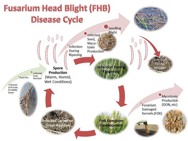 Fusarium head