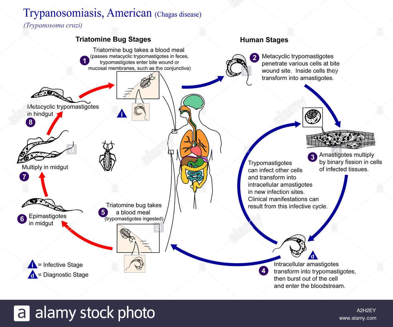 Life cycle of trypanosoma