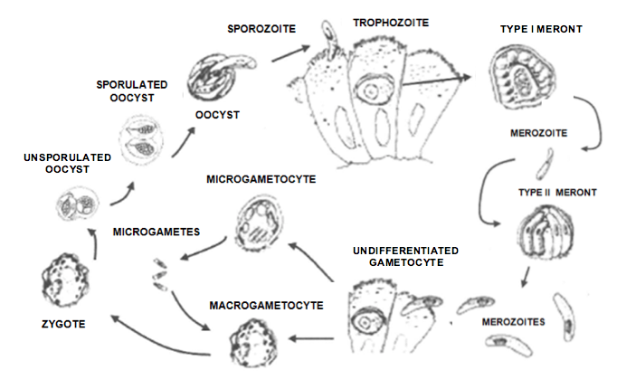 Microgametocyte Cyclospora