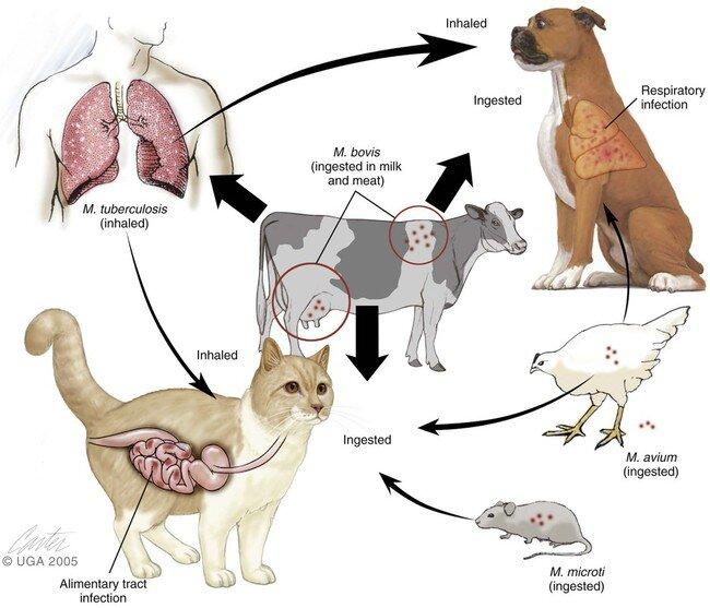 Mycobacterium in animals