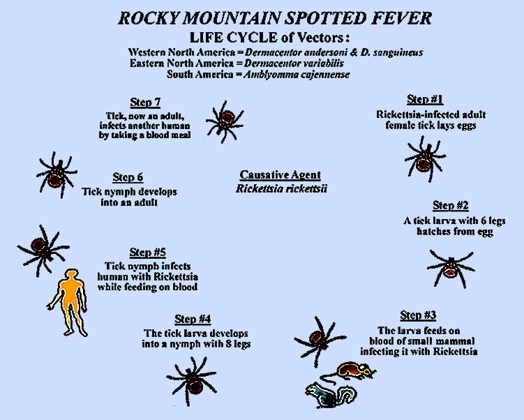 Rocky mountain spotted fever life cycle