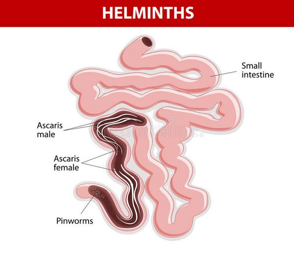 Intestinal Helminths