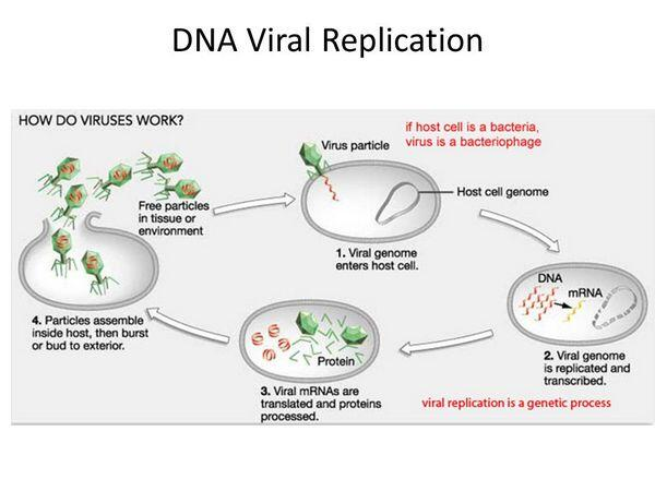 Viral RNA Replication